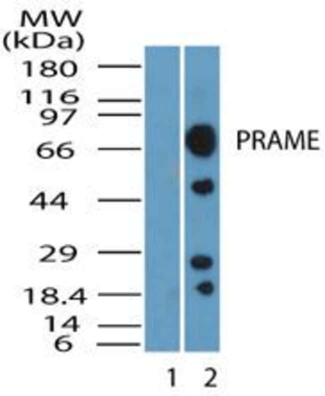 PRAME Rabbit anti-Human, Polyclonal, Invitrogen 100 µL; Unconjugated