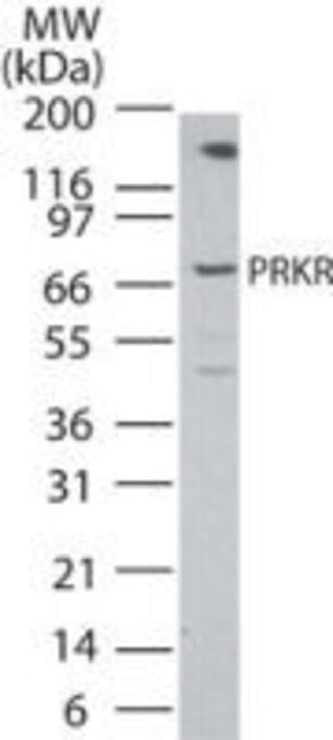 PKR Rabbit anti-Human, Polyclonal, Invitrogen 100 µg; Unconjugated
