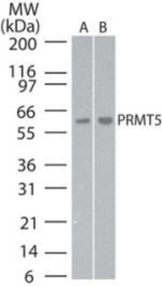 PRMT5 Rabbit anti-Human, Mouse, Polyclonal, Invitrogen 200 μL; Unconjugated:Antibodies