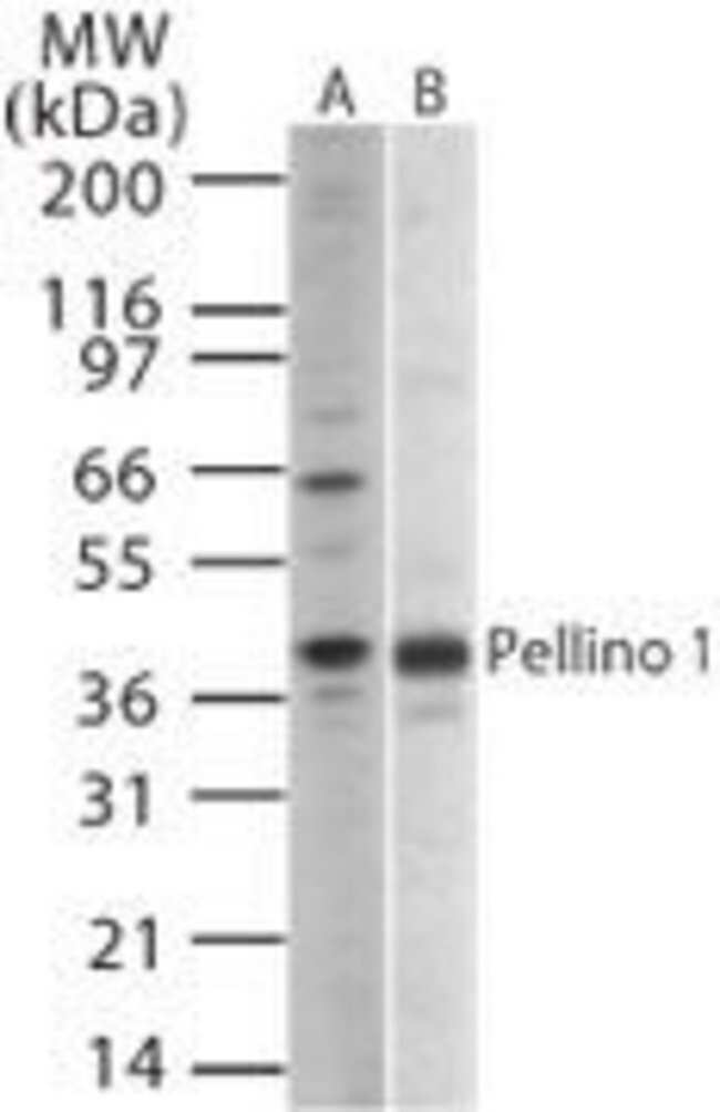 Pellino 1 Rabbit anti-Human, Mouse, Polyclonal, Invitrogen 200 µL;