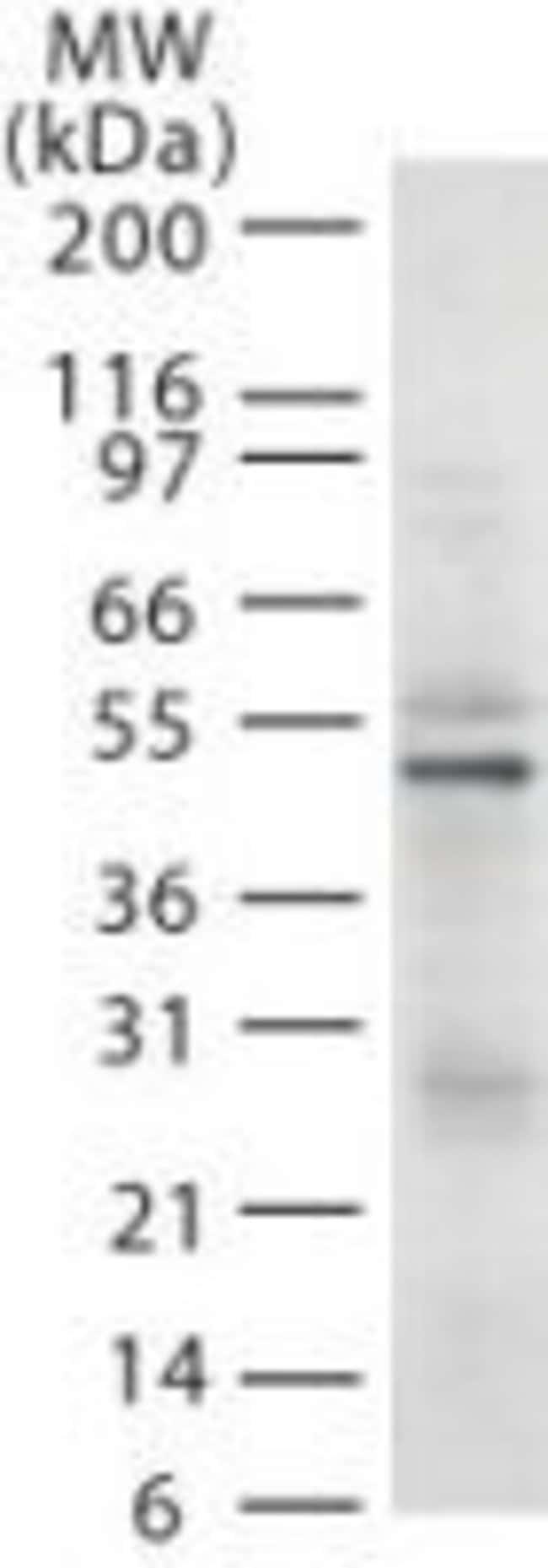 RAD18 Mouse anti-Human, Clone: 79B1048.1, Invitrogen 100 µg; Unconjugated