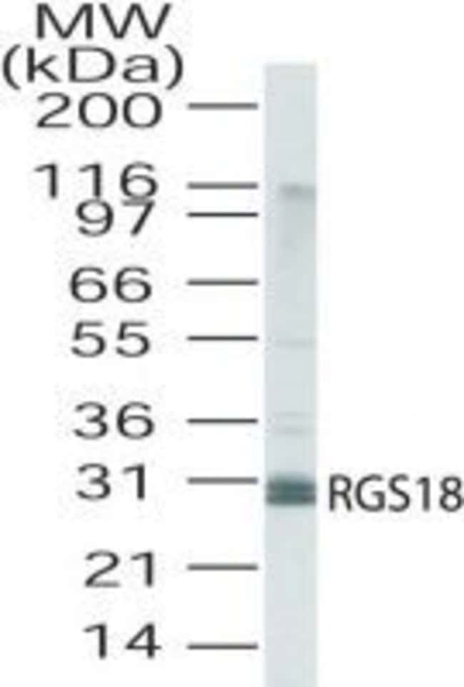 RGS18 Rabbit anti-Human, Polyclonal, Invitrogen 100 μg; Unconjugated:Antibodies