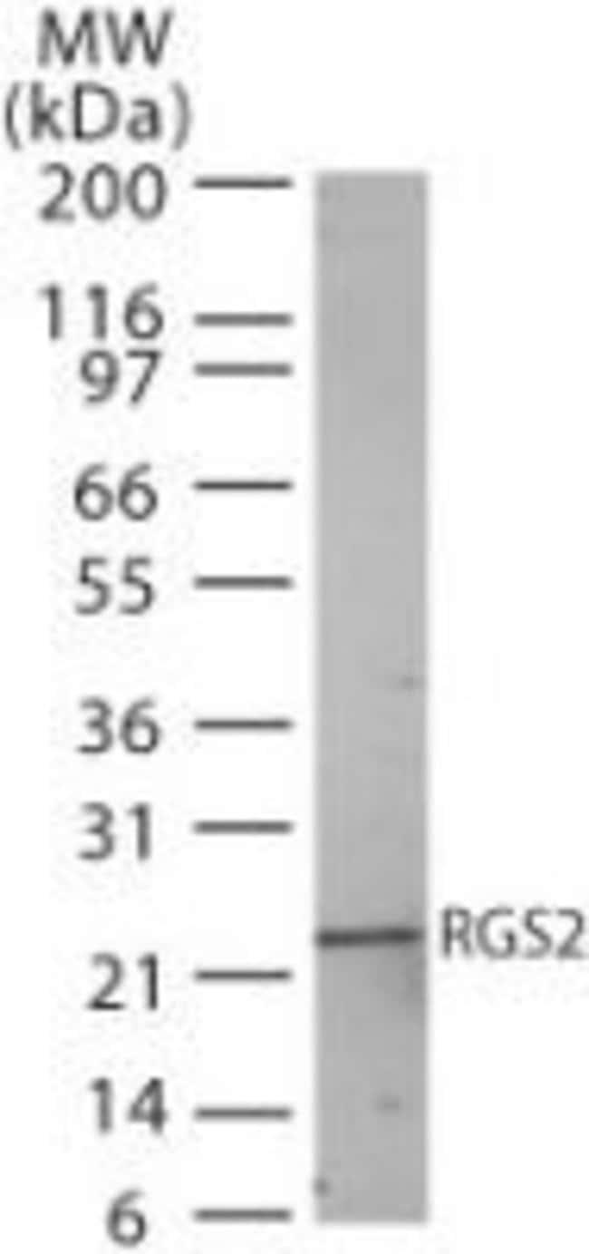 RGS2 Rabbit anti-Human, Mouse, Rat, Polyclonal, Invitrogen 100 µg;
