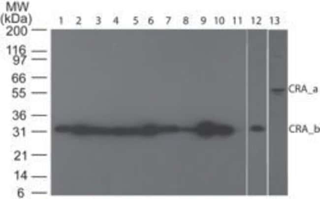 RIP3 Rabbit anti-Human, Non-human primate, Polyclonal, Invitrogen 100 µg;