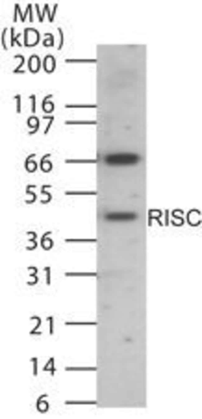 RISC Rabbit anti-Human, Mouse, Rat, Polyclonal, Invitrogen 200 µL;