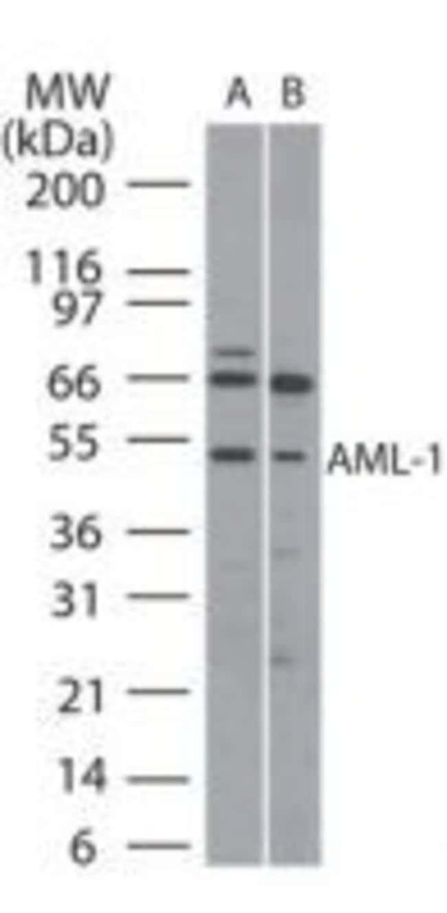 RUNX1 Rabbit anti-Human, Mouse, Polyclonal, Invitrogen 100 µg; Unconjugated