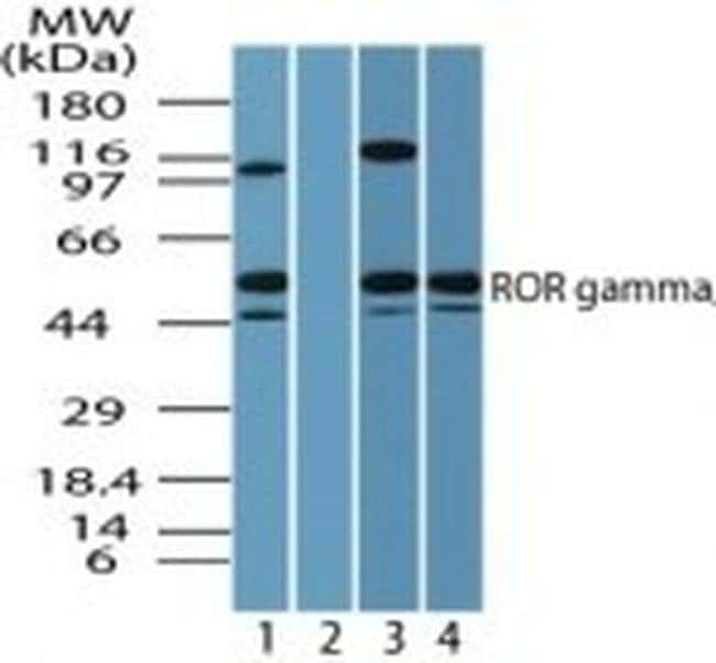 ROR gamma Rabbit anti-Human, Mouse, Polyclonal, Invitrogen 100 µg;