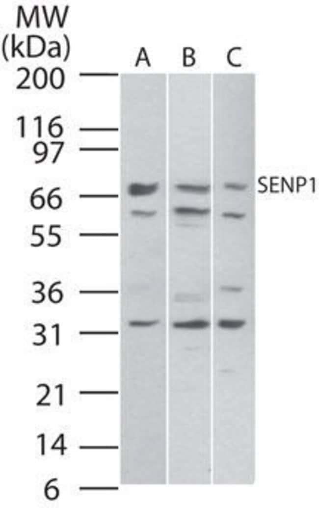 SENP1 Rabbit anti-Human, Mouse, Polyclonal, Invitrogen 100 µg; Unconjugated