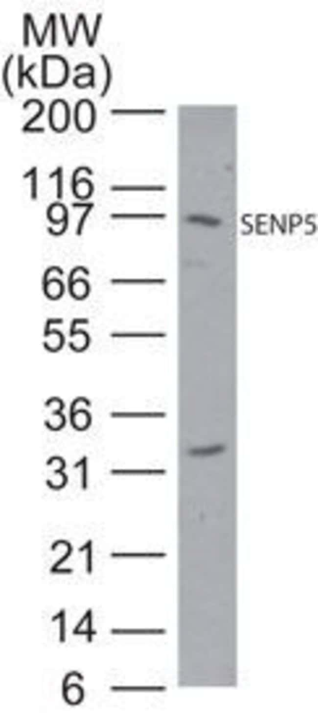 SENP5 Rabbit anti-Human, Mouse, Polyclonal, Invitrogen 100 μg; Unconjugated:Antibodies