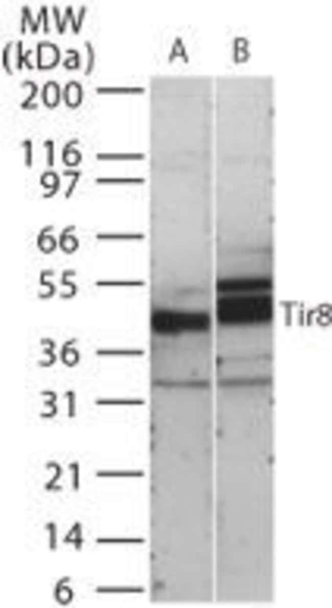 SIGIRR Rabbit anti-Human, Mouse, Polyclonal, Invitrogen 100 μg; Unconjugated:Antibodies