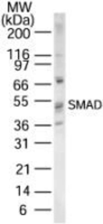 SMAD1/SMAD5/SMAD9 Rabbit anti-Human, Mouse, Rat, Polyclonal, Invitrogen