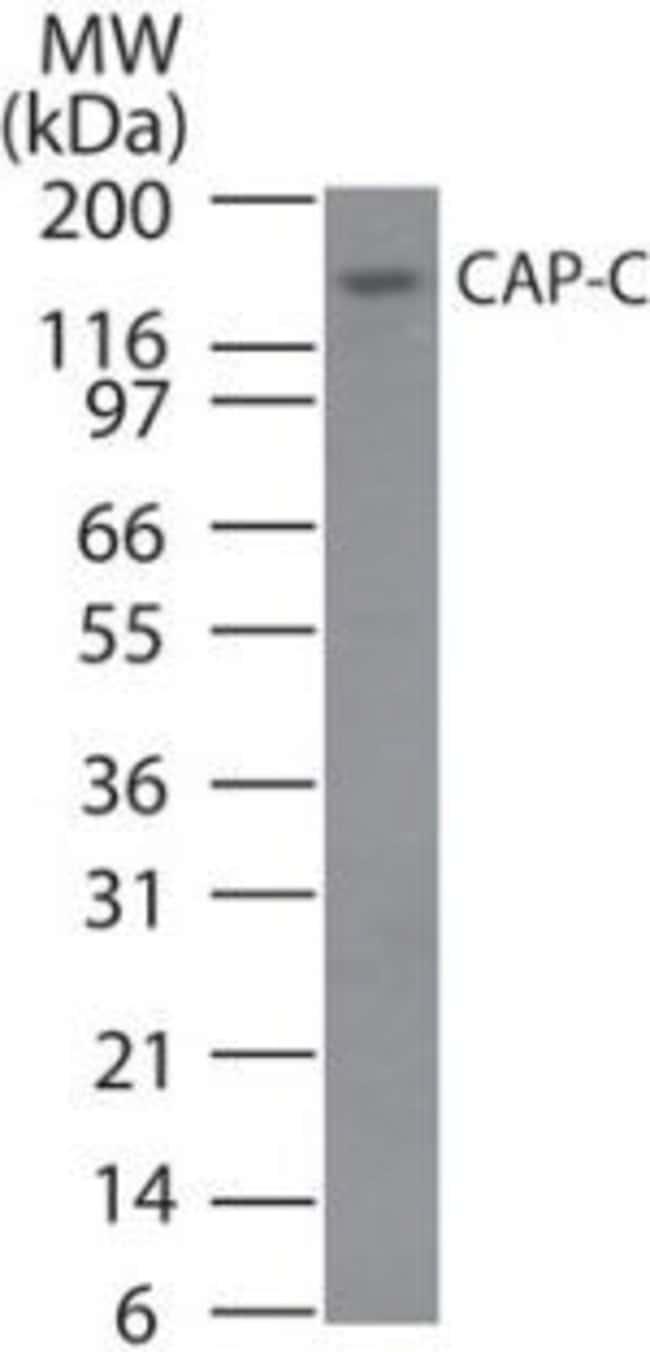 SMC4 Rabbit anti-Human, Polyclonal, Invitrogen 100 μg; Unconjugated:Antibodies