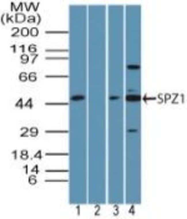 SPZ1 Rabbit anti-Human, Mouse, Non-human primate, Rat, Polyclonal, Invitrogen