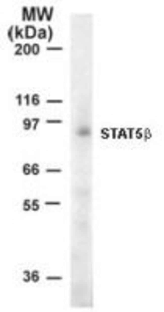 STAT5 beta Rabbit anti-Human, Polyclonal, Invitrogen 100 µg; Unconjugated