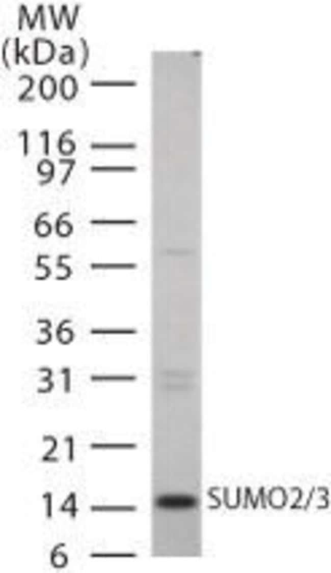 SUMO2/SUMO3 Rabbit anti-Human, Mouse, Polyclonal, Invitrogen 100 μg;