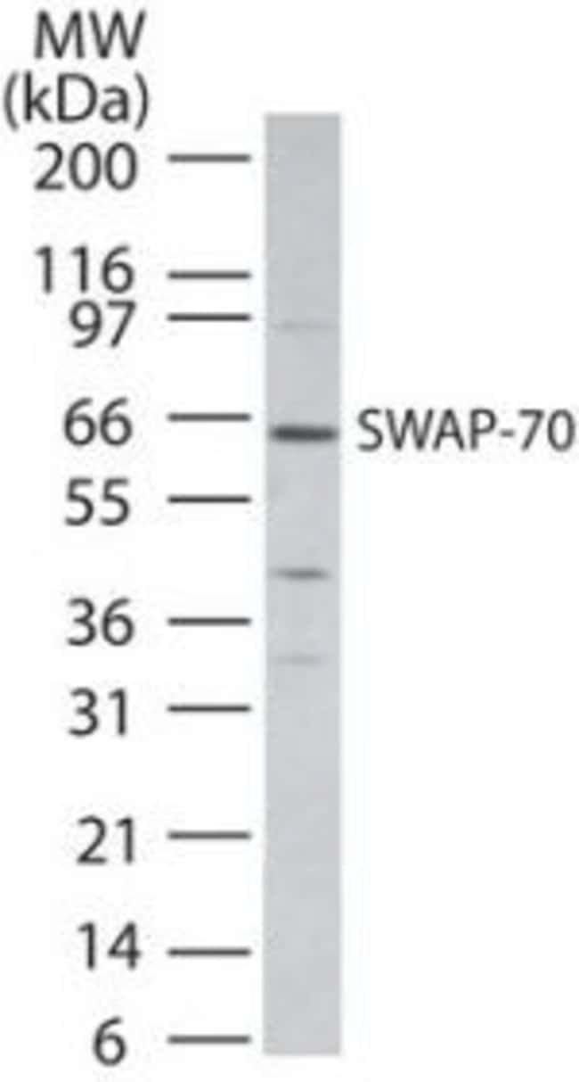 SWAP70 Rabbit anti-Human, Polyclonal, Invitrogen 100 μg; Unconjugated:Antibodies