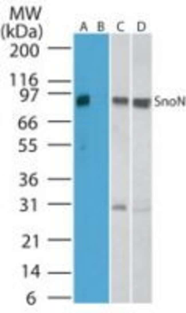SnoN Rabbit anti-Human, Mouse, Rat, Polyclonal, Invitrogen 100 μg; Unconjugated:Antibodies