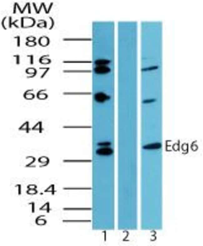 EDG6 Rabbit anti-Human, Mouse, Polyclonal, Invitrogen 100 µg; Unconjugated