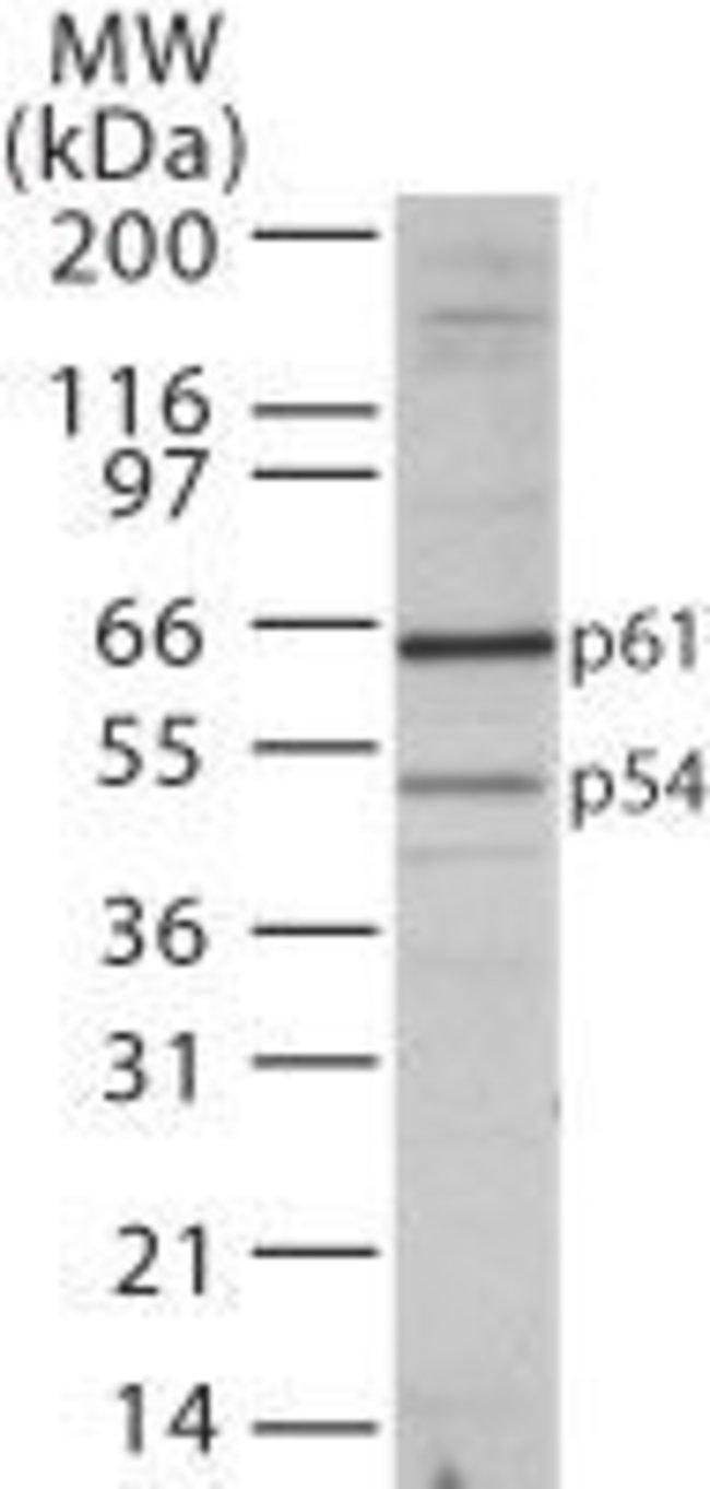 TBLR1 Rabbit anti-Human, Polyclonal, Invitrogen 100 µg; Unconjugated