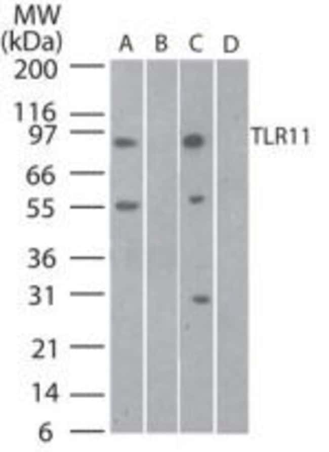 TLR11 Rabbit anti-Mouse, Rat, Polyclonal, Invitrogen 100 µg; Unconjugated
