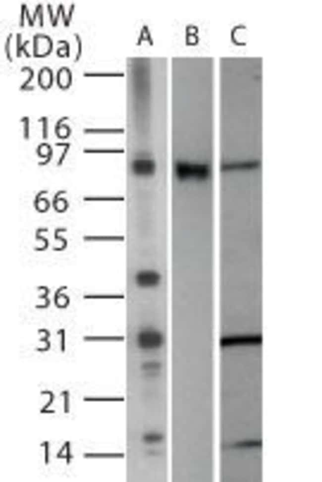 TLR2 Rabbit anti-Human, Mouse, Polyclonal, Invitrogen 100 µg; Unconjugated