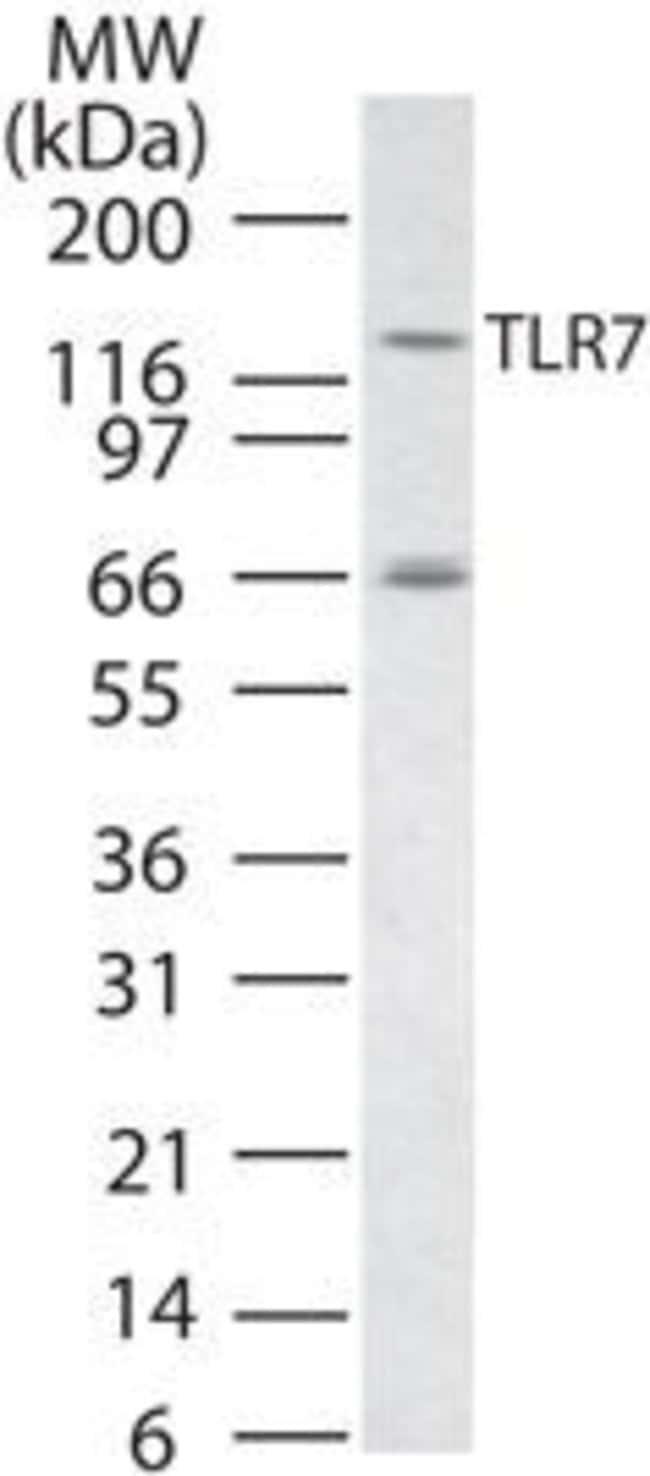 TLR7, Polyclonal, Invitrogen 100µg; Unconjugated