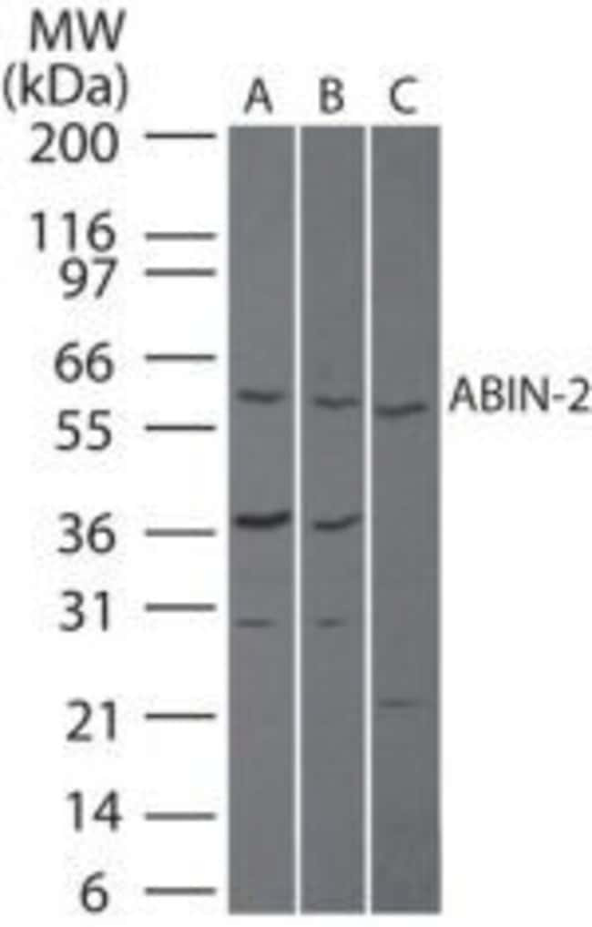 TNIP2 Rabbit anti-Human, Mouse, Rat, Polyclonal, Invitrogen 100 μg;
