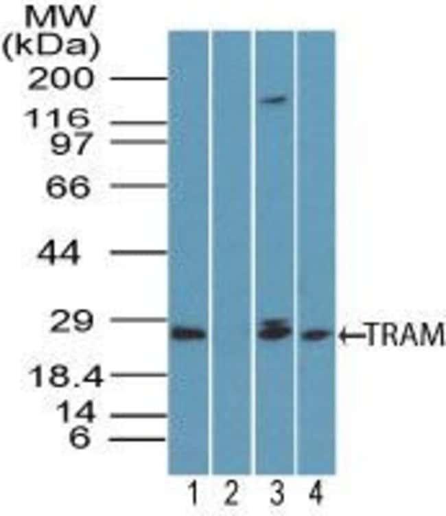 TICAM2 Rabbit anti-Human, Non-human primate, Polyclonal, Invitrogen 100