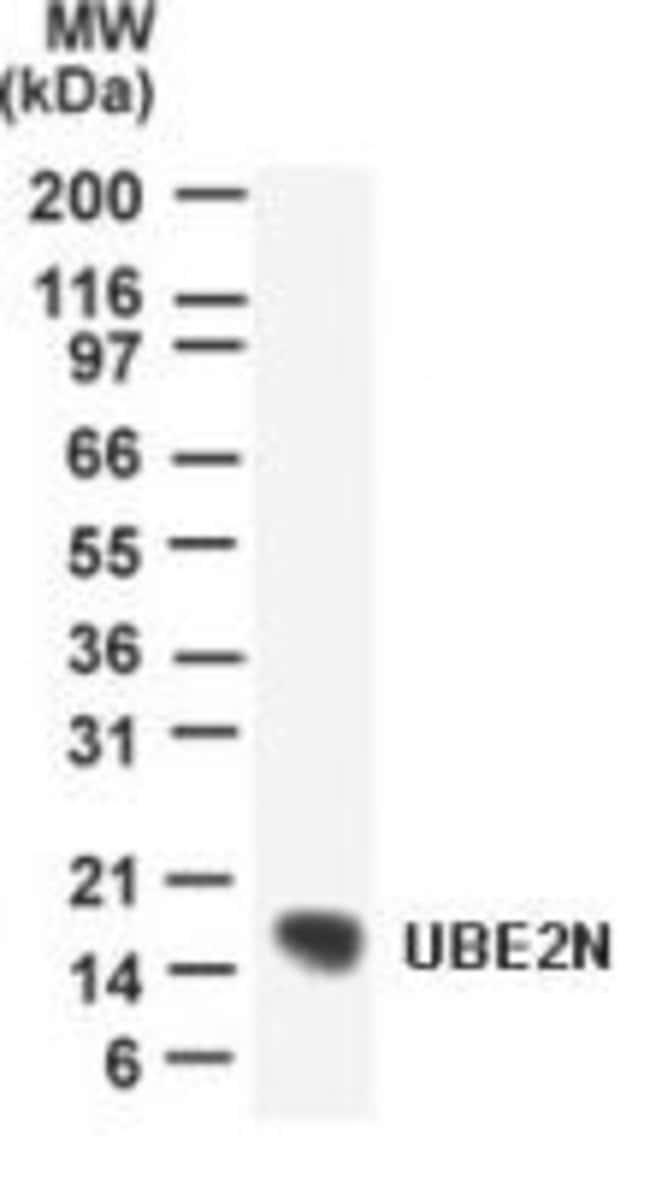 UBC13 Rabbit anti-Human, Polyclonal, Invitrogen 100 μg; Unconjugated:Antibodies