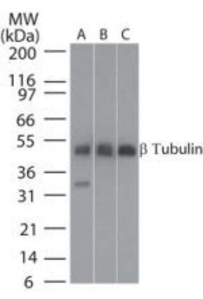 beta Tubulin Rabbit anti-Bovine, Canine, Chicken, Feline, Human, Mouse,