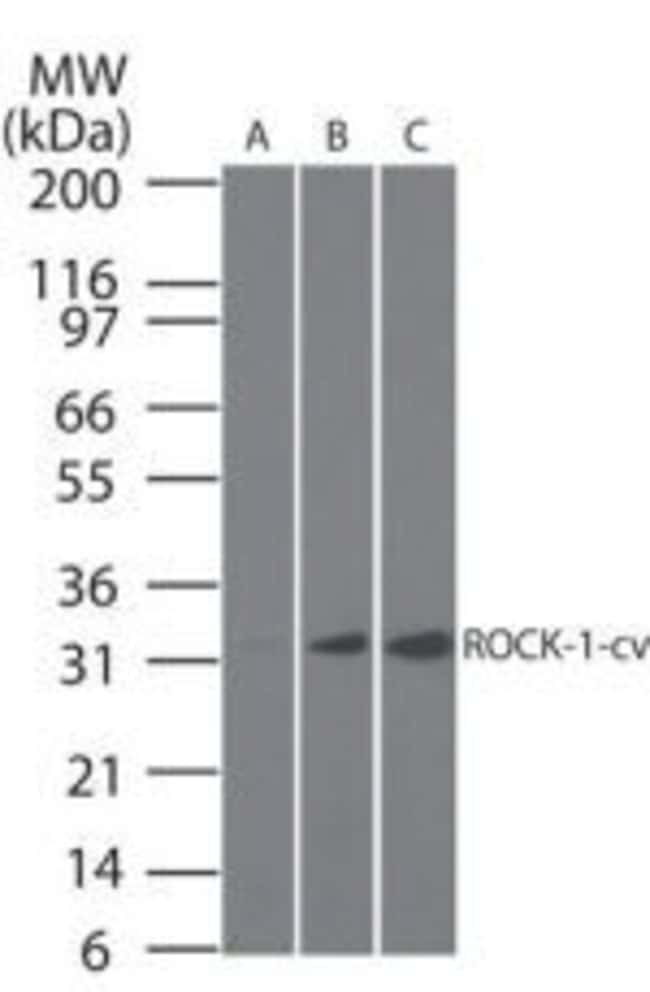 ROCK1 (Cleaved Asp1113) Mouse anti-Canine, Human, Mouse, Non-human primate,