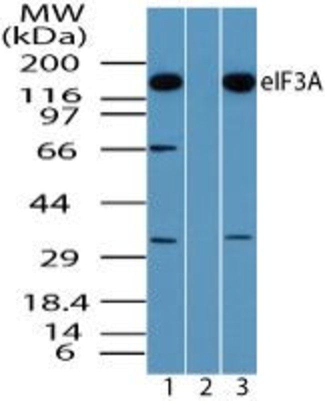 eIF3a Rabbit anti-Human, Mouse, Polyclonal, Invitrogen 100 µg; Unconjugated