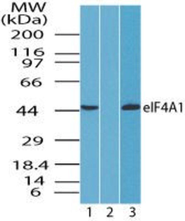 eIF4A1 Rabbit anti-Canine, Human, Mouse, Non-human primate, Rat, Polyclonal,