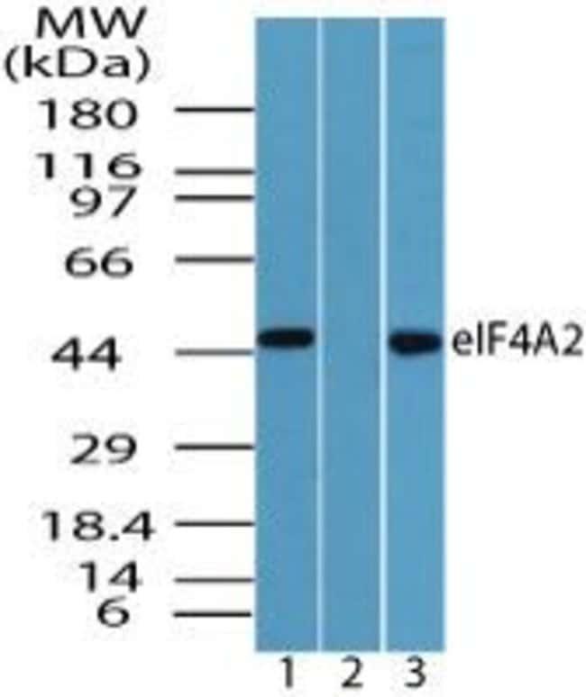 eIF4A2 Rabbit anti-Human, Mouse, Polyclonal, Invitrogen 100 µg; Unconjugated