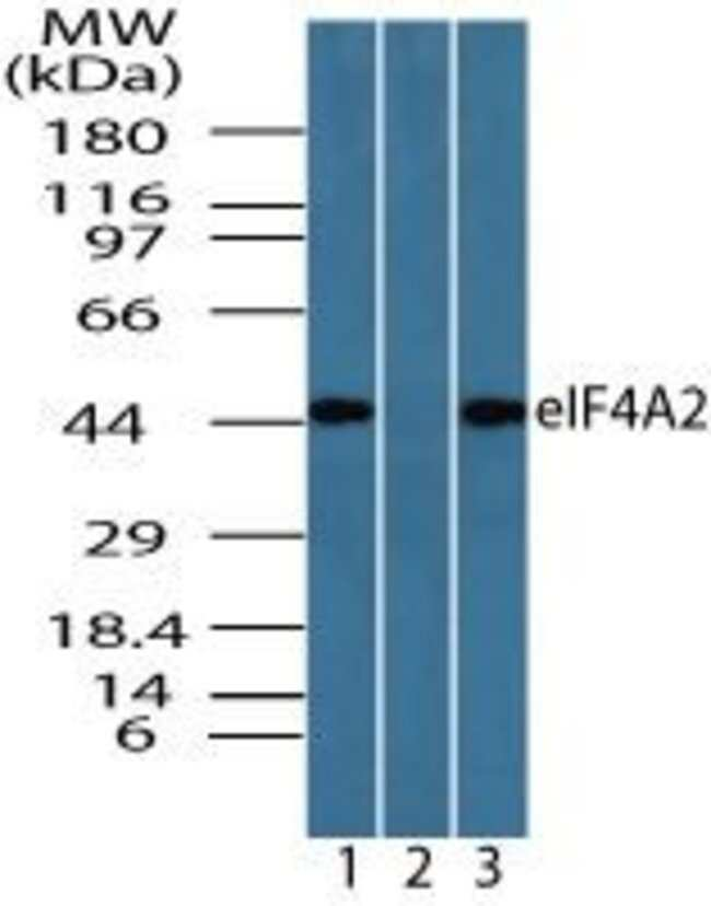 eIF4A2 Rabbit anti-Canine, Chicken, Human, Mouse, Non-human primate, Polyclonal,