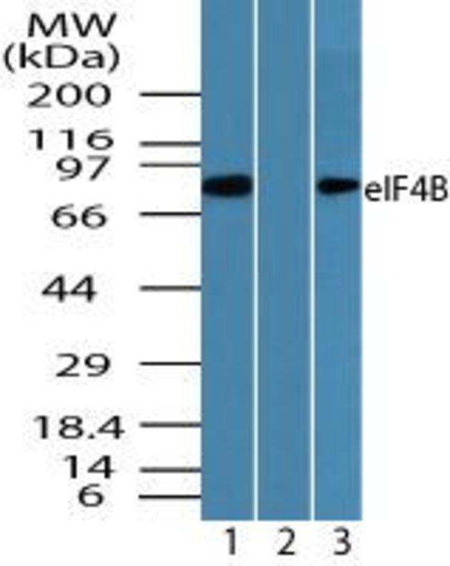 eIF4B Rabbit anti-Human, Mouse, Non-human primate, Polyclonal, Invitrogen