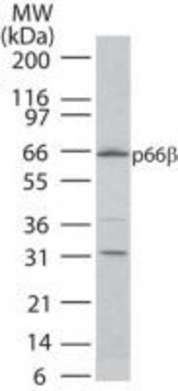 GATAD2B Rabbit anti-Human, Mouse, Polyclonal, Invitrogen 100 µg; Unconjugated