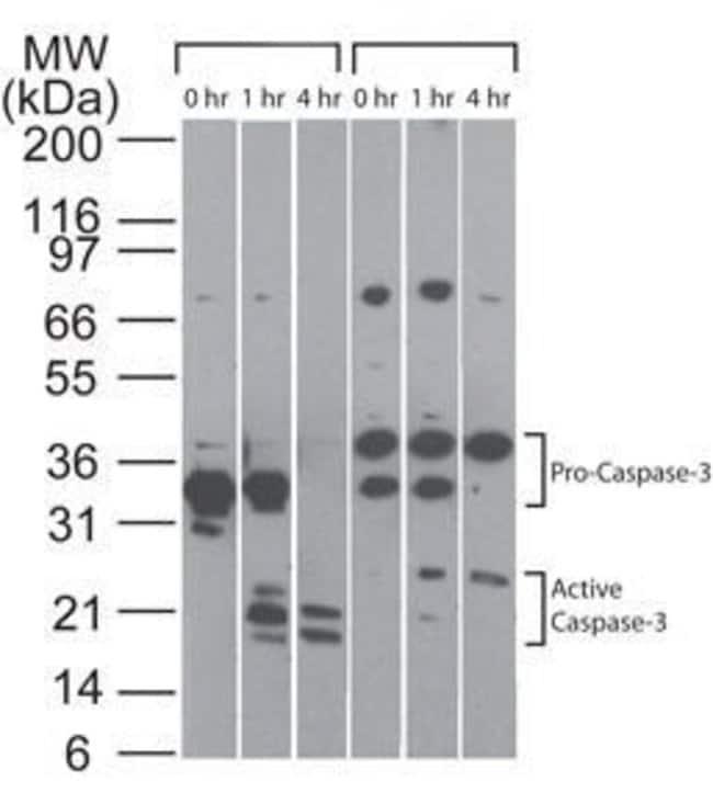 pro-Caspase 3 Mouse anti-Human, Clone: 31A893, Invitrogen 100 µg;