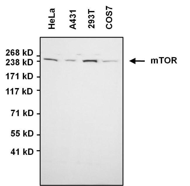 mTOR Rabbit anti-Human, Non-human primate, Polyclonal, Invitrogen 100 µg;
