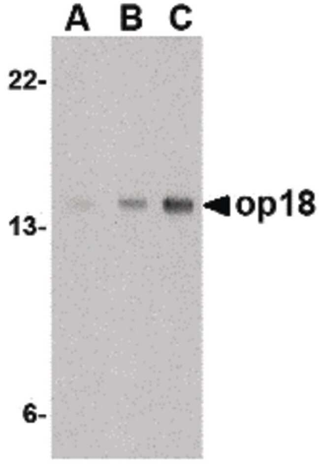 Stathmin 1 Rabbit anti-Human, Mouse, Polyclonal, Invitrogen 100 µg;