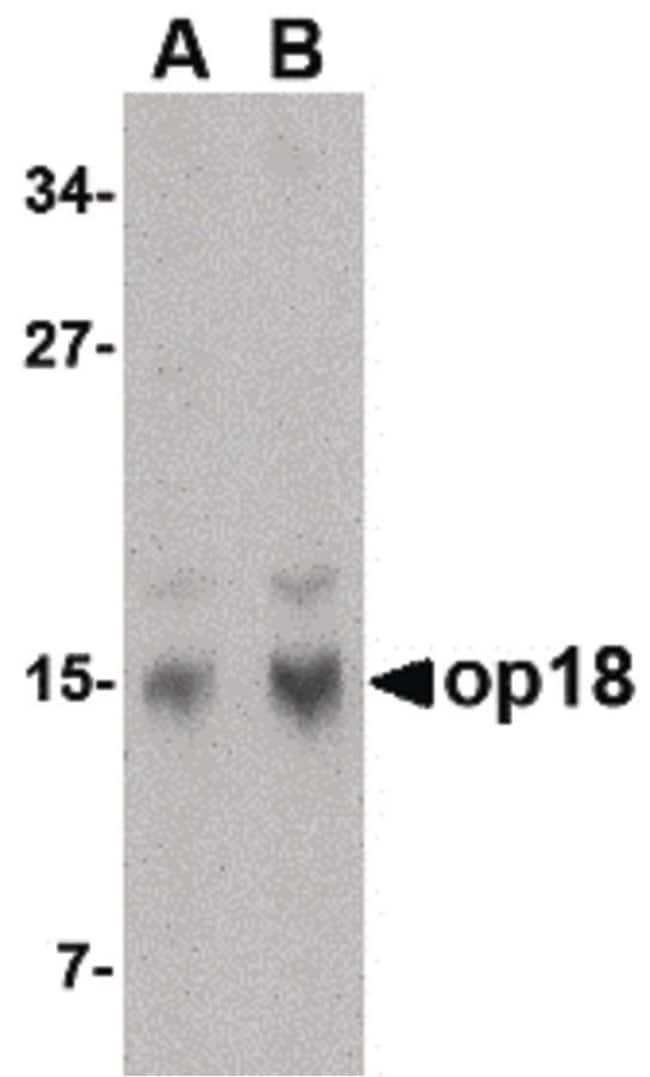 Stathmin 1 Rabbit anti-Human, Mouse, Rat, Polyclonal, Invitrogen 100 µg;