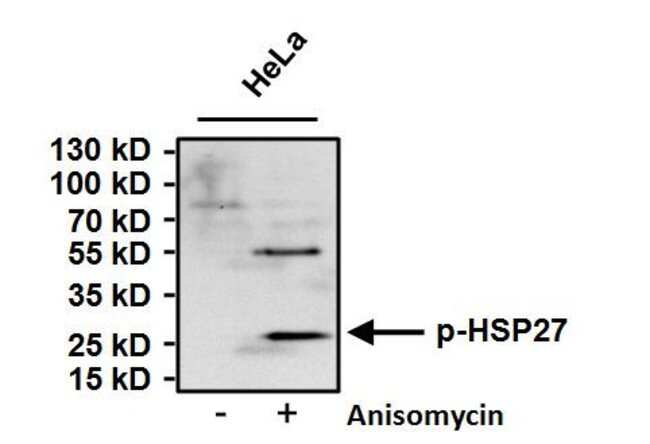 Phospho-HSP27 (Ser15) Rabbit anti-Human, Rat, Polyclonal, Invitrogen 100