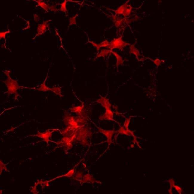 VGLUT1 Rabbit anti-Human, Mouse, Rat, Polyclonal, Invitrogen   100 µg;