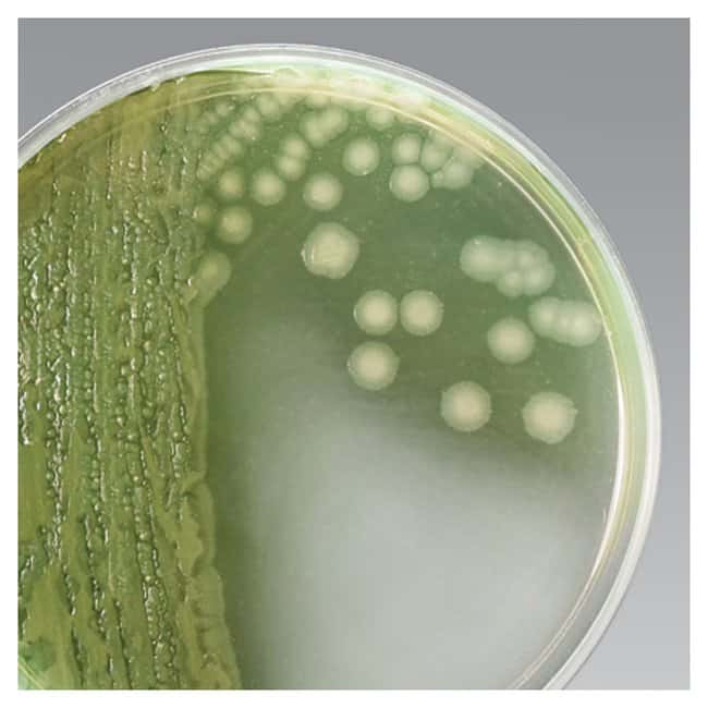 pseudomonas isolation Pseudomonas aeruginosa is a gram negative bacteria that is commonly found in the environment eg soil, water and other moist locations   diagnosis of p aeruginosa infection depends upon isolation and laboratory identification of the bacterium it grows well on most laboratory media and commonly is isolated on blood agar or eosin.